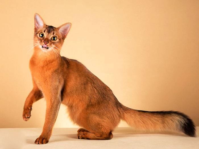 Сомалийская кошка (сомали): описание, характер, уход и содержание, кормление