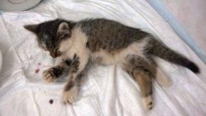 Асцит у кошек: причины, симптомы, лечение