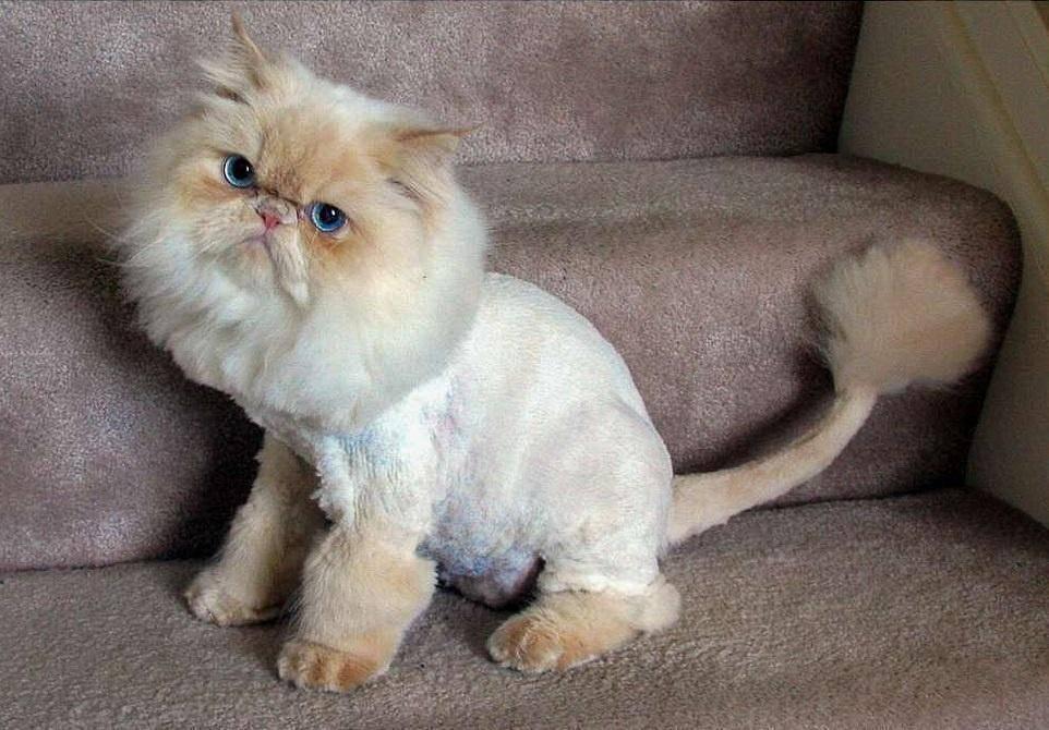 Стрижки кошек: фото, под льва и не только