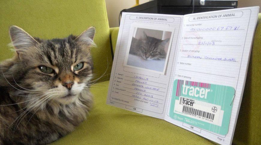 Британская кошка: особенности характера и поведения