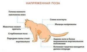 Что делать, если у кота урчит в животе?