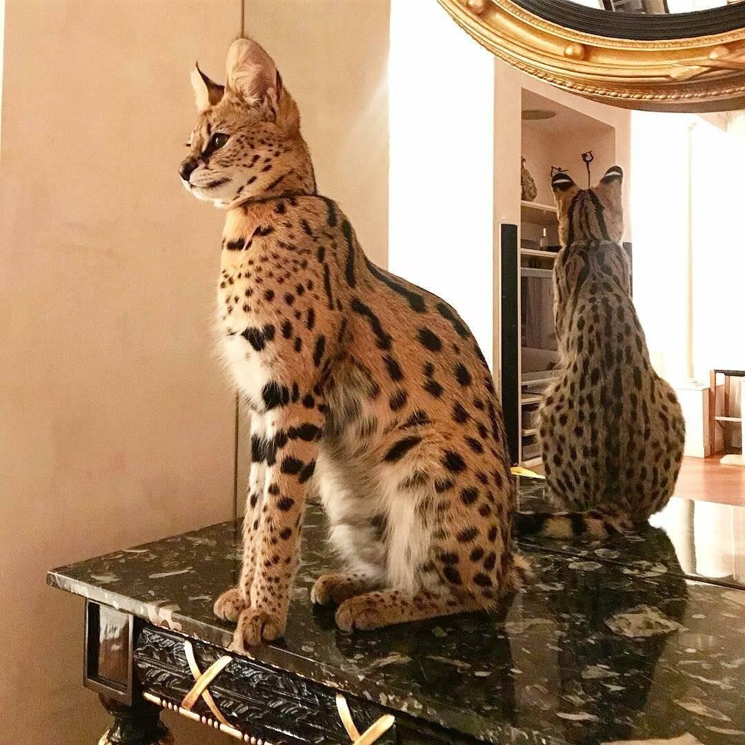 Саванна (кошка саванна) фото, история породы цена размеры внешний вид вес трудности размножения здоровье клички для саванны