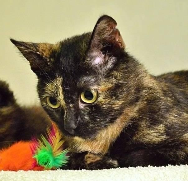 Трехцветная кошка в доме: приметы которые с ней связаны