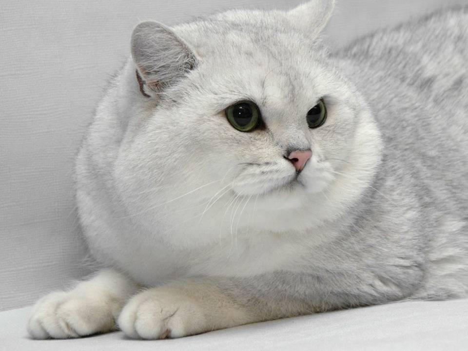 Серебристая шиншилла кошка