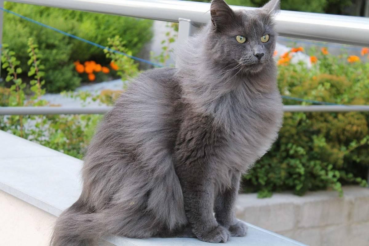 Русская голубая кошка (54 фото): описание характера котов русской голубой породы, цвет глаз котят. сколько лет они живут? чем кормить? отзывы владельцев
