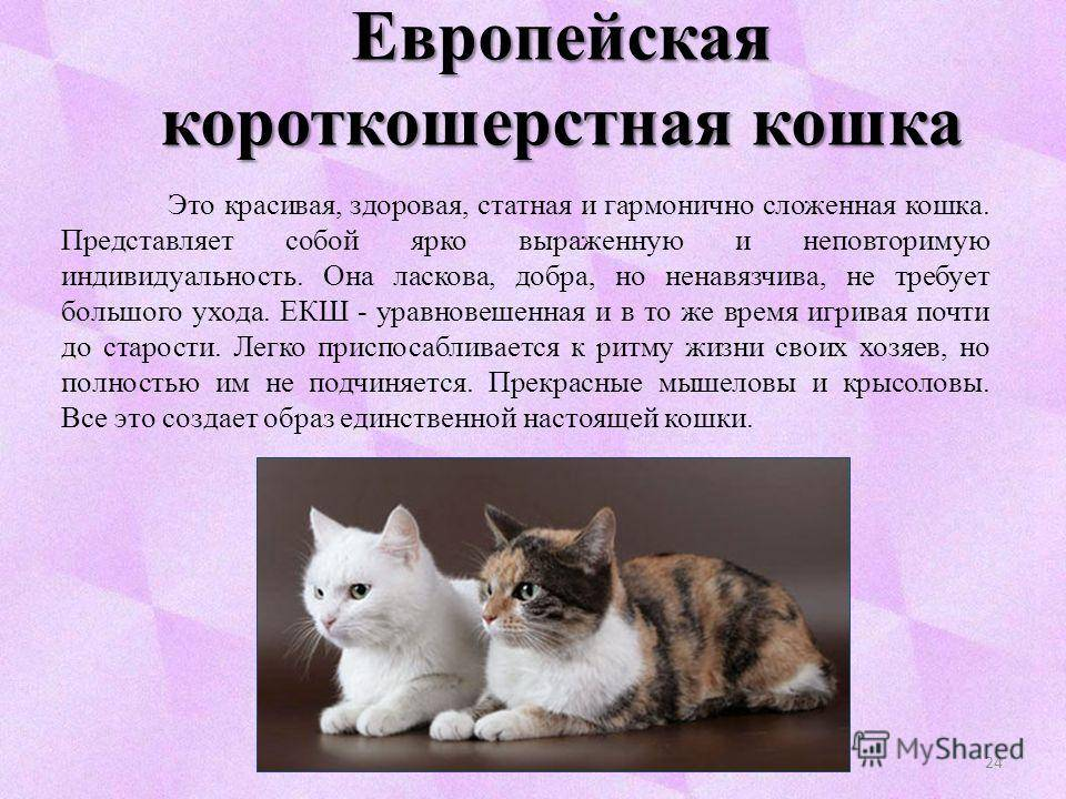 Британская короткошерстная кошка: «плюшевые медвежата»