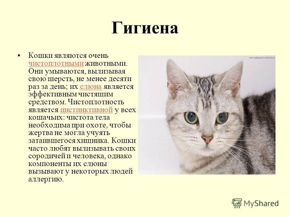 Кошка умывается: все значения приметы
