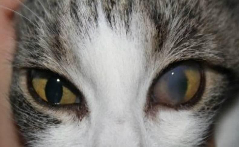 Глаза кошки: слезятся, гноятся, покрыты плёнкой... ~ коточек