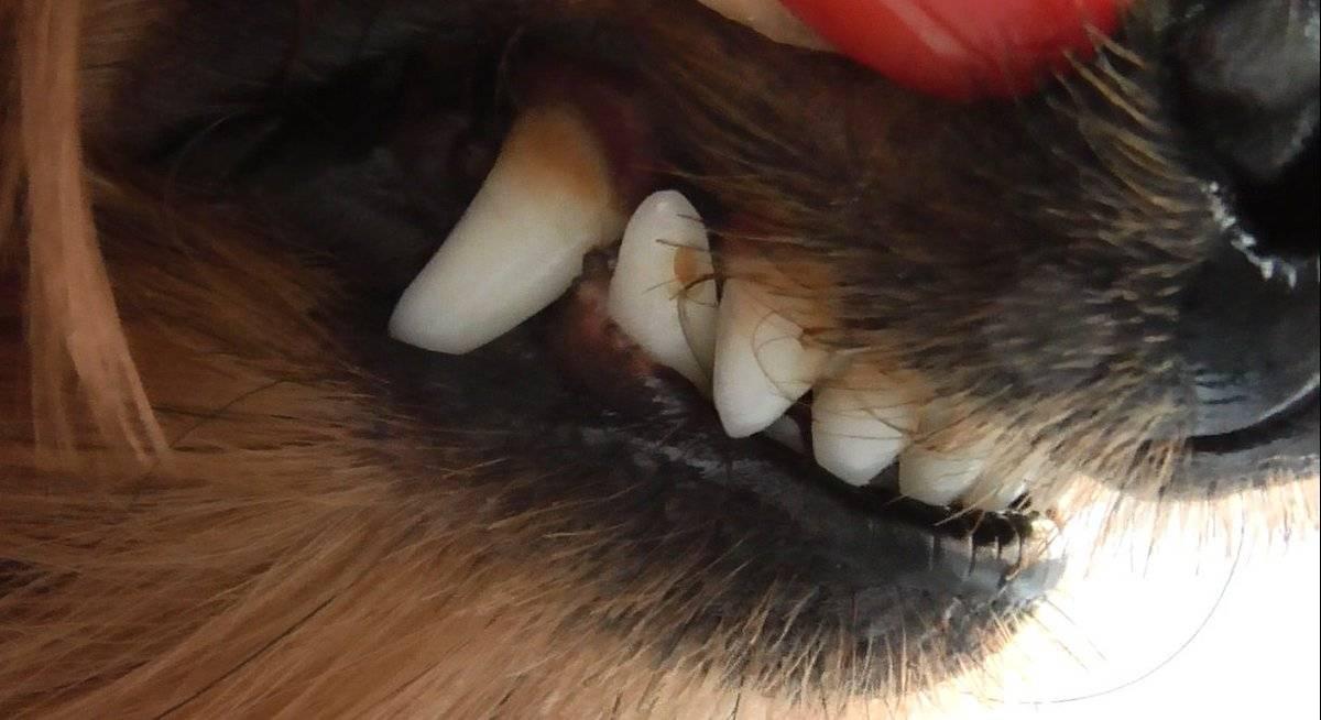 Запах изо рта у кошек: причины и лечение