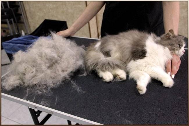 Когда начинают линять котята: линька котов