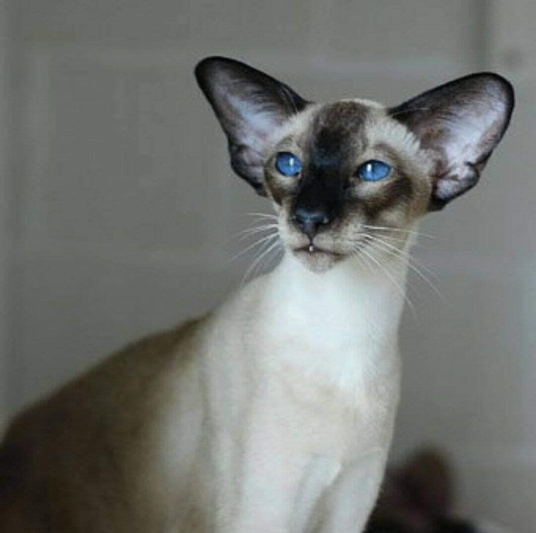 Все, что нужно знать об ориентальных кошках и котах