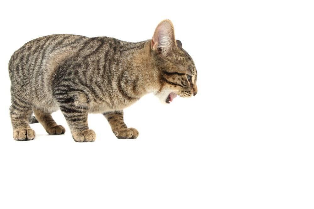Кошка не может отрыгнуть шерсть, что делать?