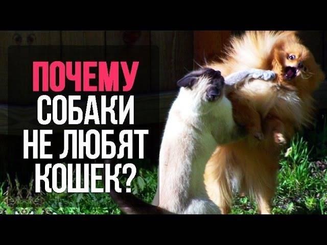 Почему собаки не любят кошек   почему враждуют