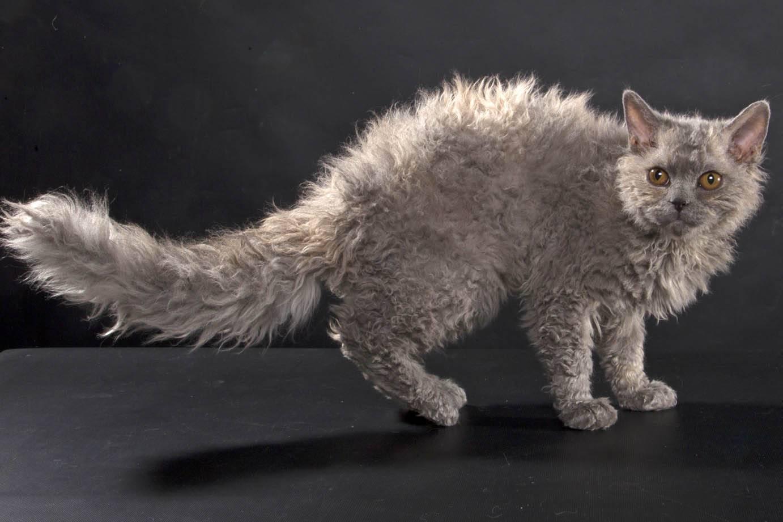 "Порода кошек ""селкирк рекс"" и уход за ним"