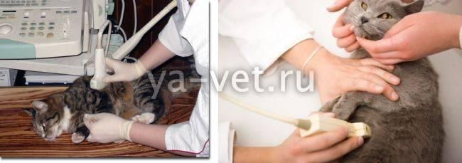 Узи брюшной полости кошек: зачем делать ультразвуковое исследование брюшной полости кошке
