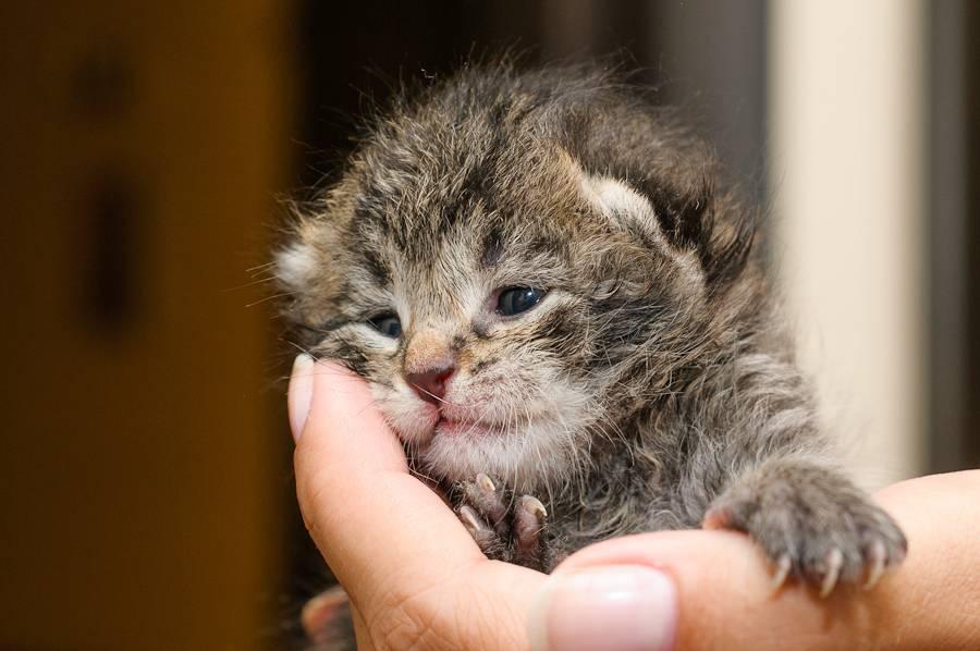 Когда у котят открываются глаза?