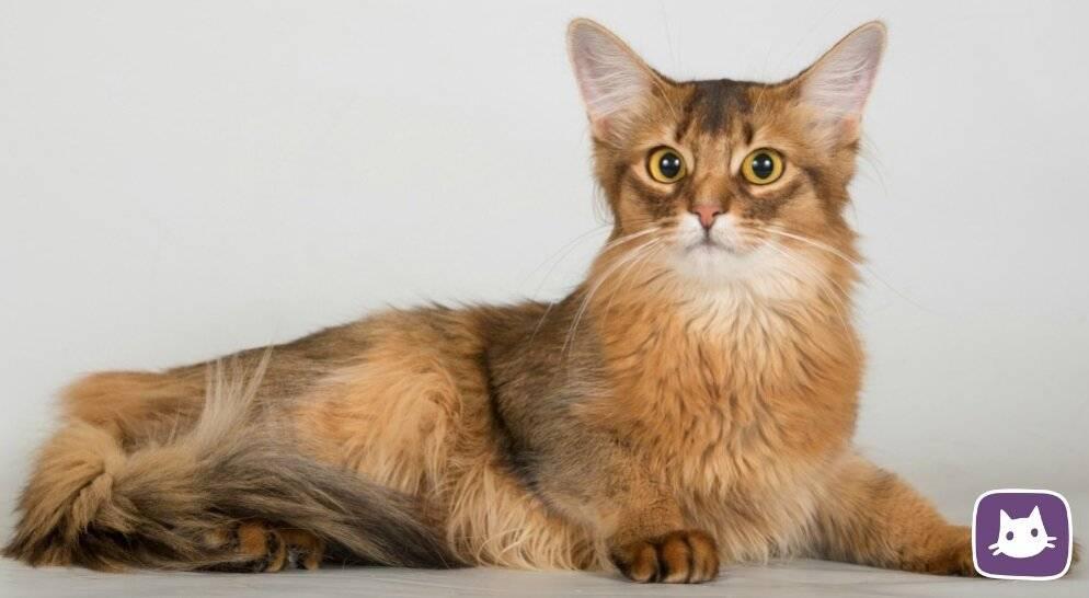 Главные отличия и особенности содержания сомалийской кошки
