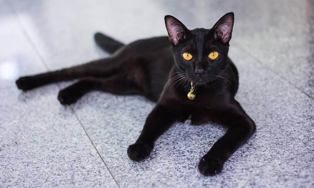 Болезни хвоста у кошек. хвост шотландской кошки — барометр здоровья