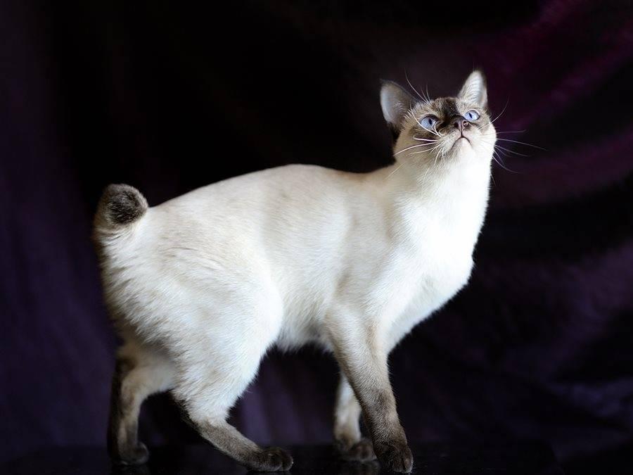 Кошки с круглыми ушами – список пород и их особенности