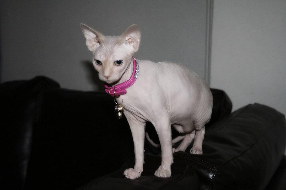 Самые умные кошки: топ-10 пород с фотографиями самые умные кошки: топ-10 пород с фотографиями