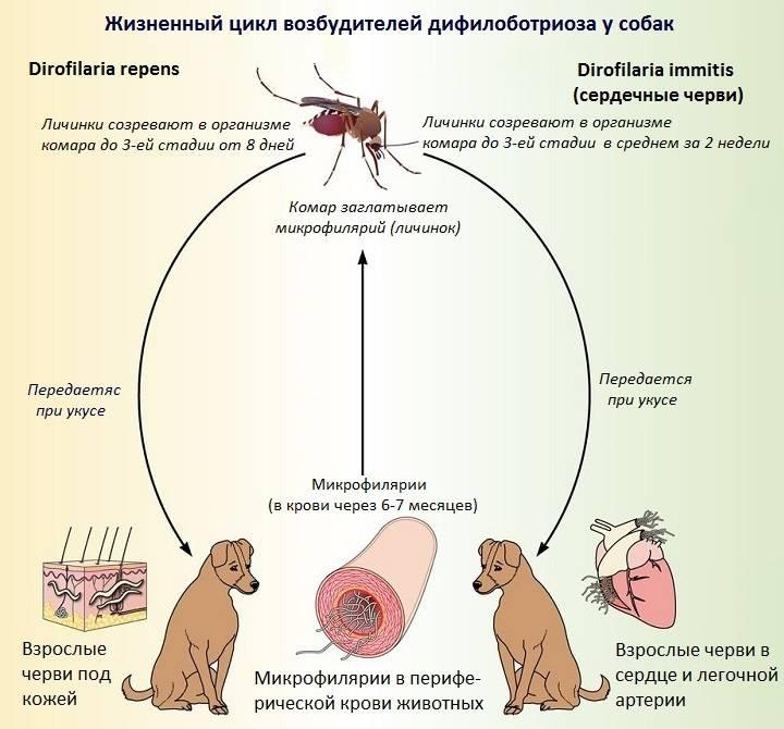 Дирофиляриоз у собак: симптомы и лечение   препараты, отзывы