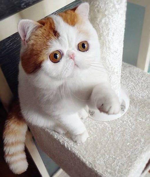 Кот снупи: порода популярного котика, описание, уход, стоимость