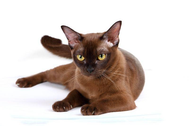 Плюсы и минусы бурманской породы кошек | плюсы и минусы