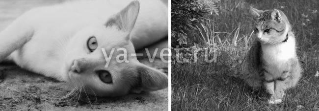 Сердечная недостаточность у кошек: текущие концепции / противоречия