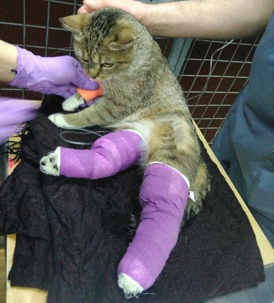 Перелом лапы у кошки: первая помощь, лечение