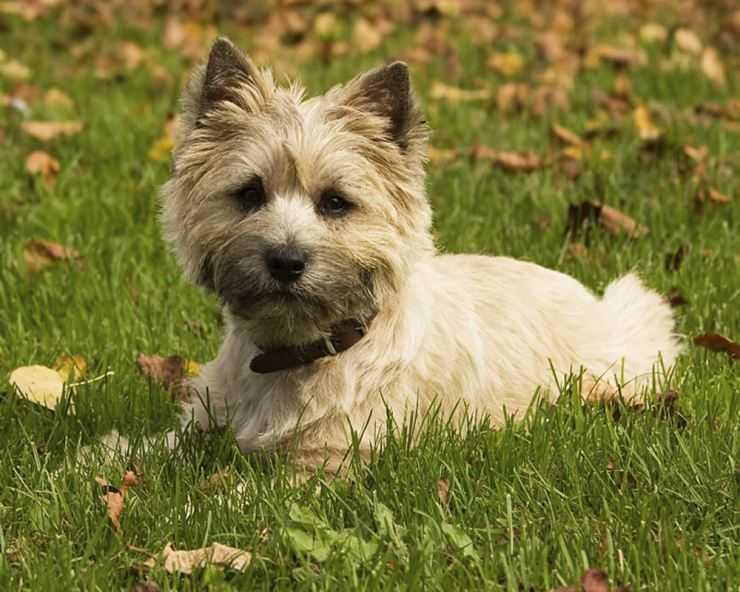 Пекинес собака. описание, особенности, уход и цена пекинеса | sobakagav.ru
