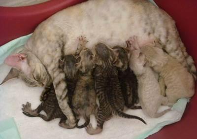 Как ухаживать за котятами без кошки в первые 3 недели