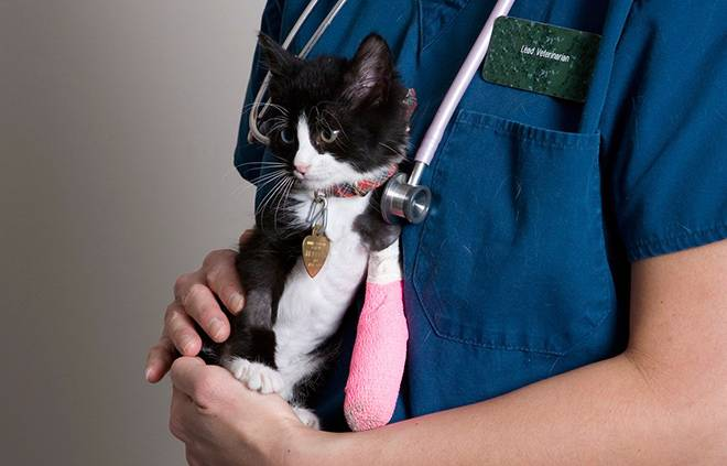 Кот сломал лапу - что делать в домашних условиях, лечение и симптомы