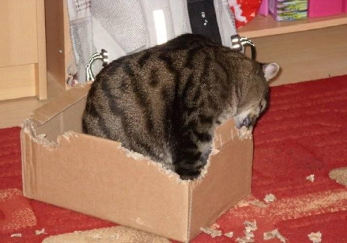 Почему кошки любят коробки и пакеты: простой ответ