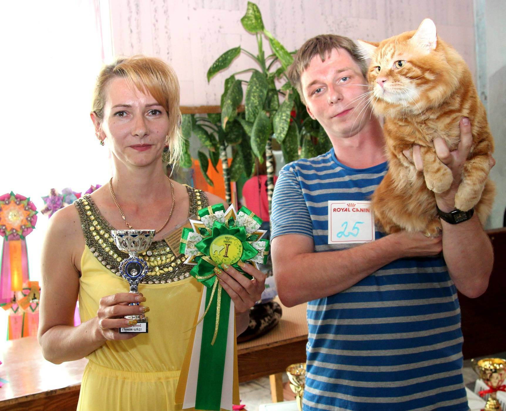 Подготовка короткошерстных кошек к выставке