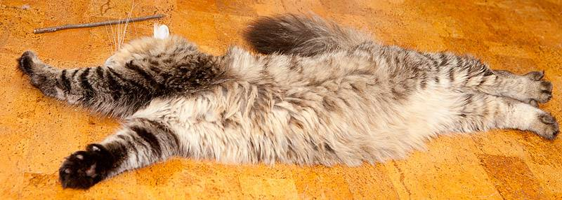 Если кошка лежит на животе с вытянутыми задними лапами | my darling cats