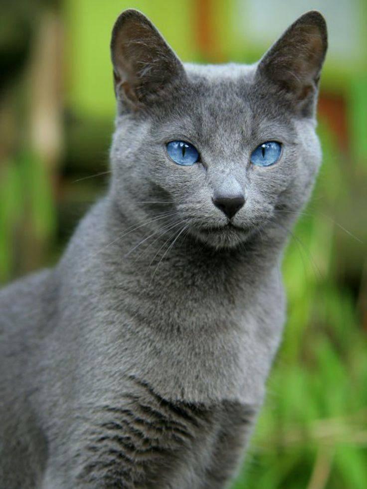Распространенные породыбелыхкошекс голубыми глазами