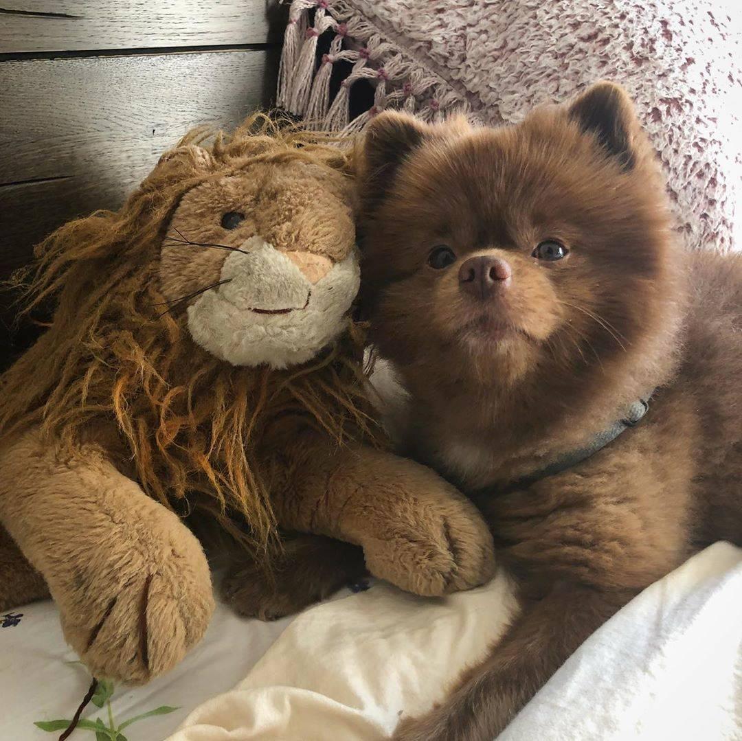 Огромная собака как медведь. какие есть породы собак, похожих на медвежонка. рассмотрим несколько подробнее перечисленных собак - заболевания-мед