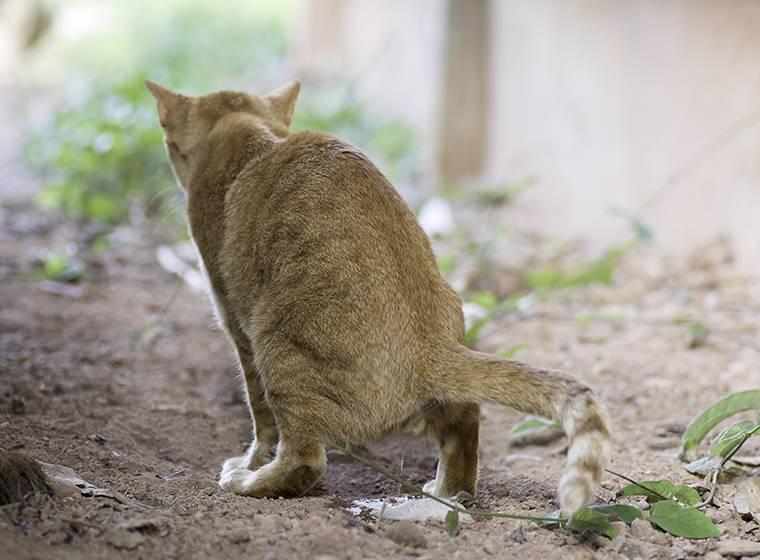 Кот или кошка не может пописать: о чем это говорит