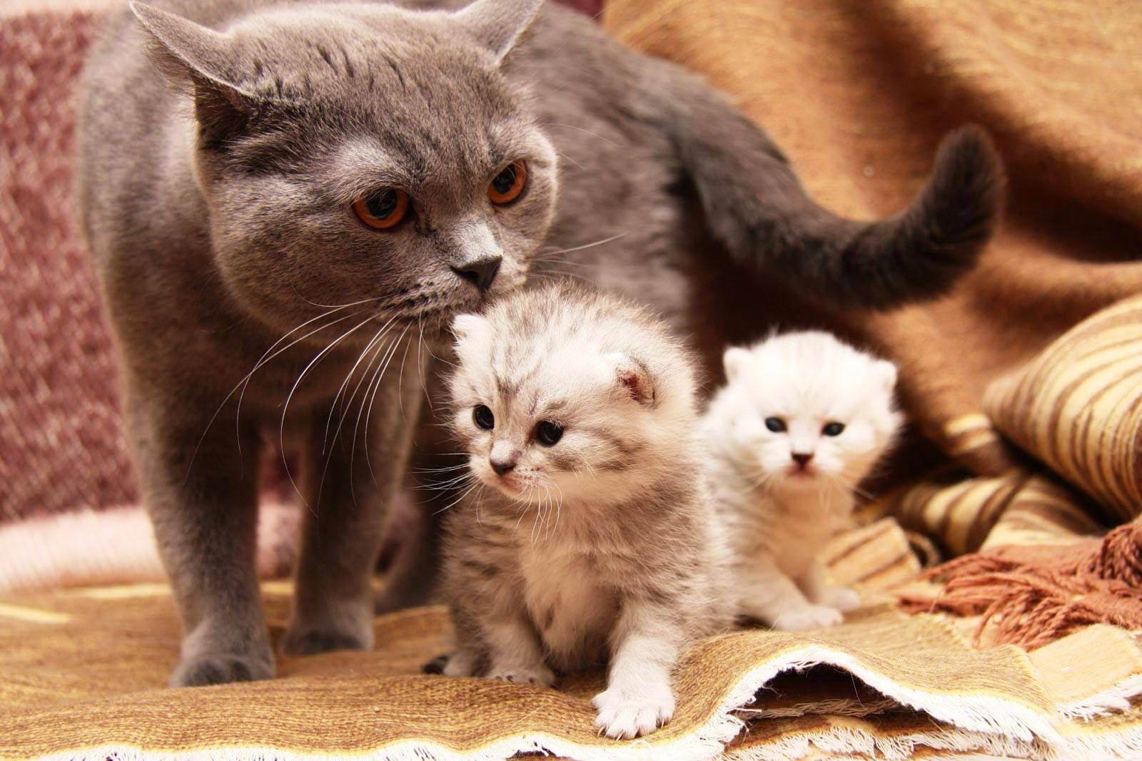 Сколько длится беременность у кошек британской породы?