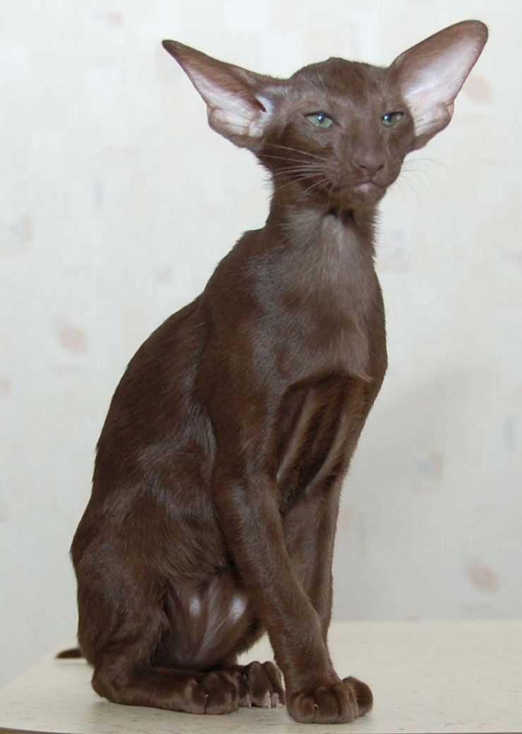 Ориентальная кошка: все о породе от а до я! характер, окрас, цена, отзывы, виды, описание, история, особенности и нюансы ухода