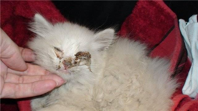 Коричневые выделения у кошки из глаз: причины, лечение, профилактика