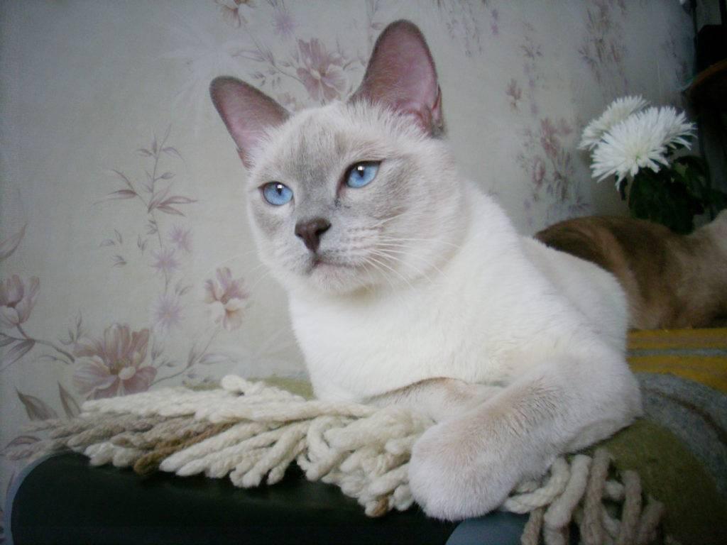 Кошка колор пойнт: описание пород, окрас, содержание и уход за колорпоинтовыми питомцами