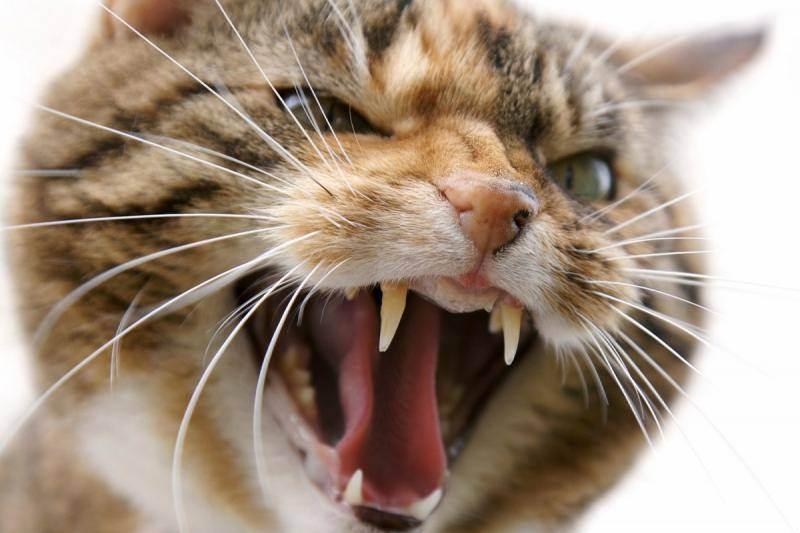 Кот проявляет агрессию что делать. агрессивная кошка: что делать и куда бежать