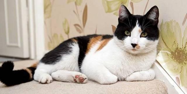 Трёхцветная кошка — счастье в доме