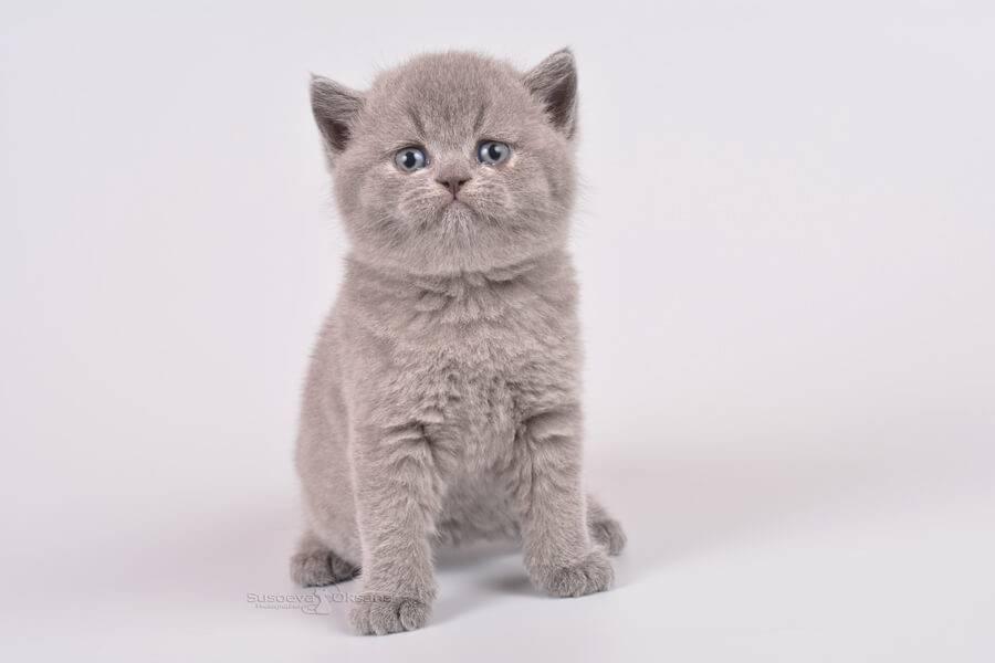 Сколько стоит британский котенок - цены, что нужно знать