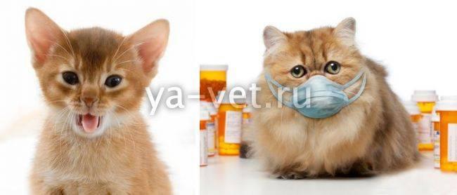 Кошка задыхается, хрипит и кашляет: почему так происходит, что следует делать?