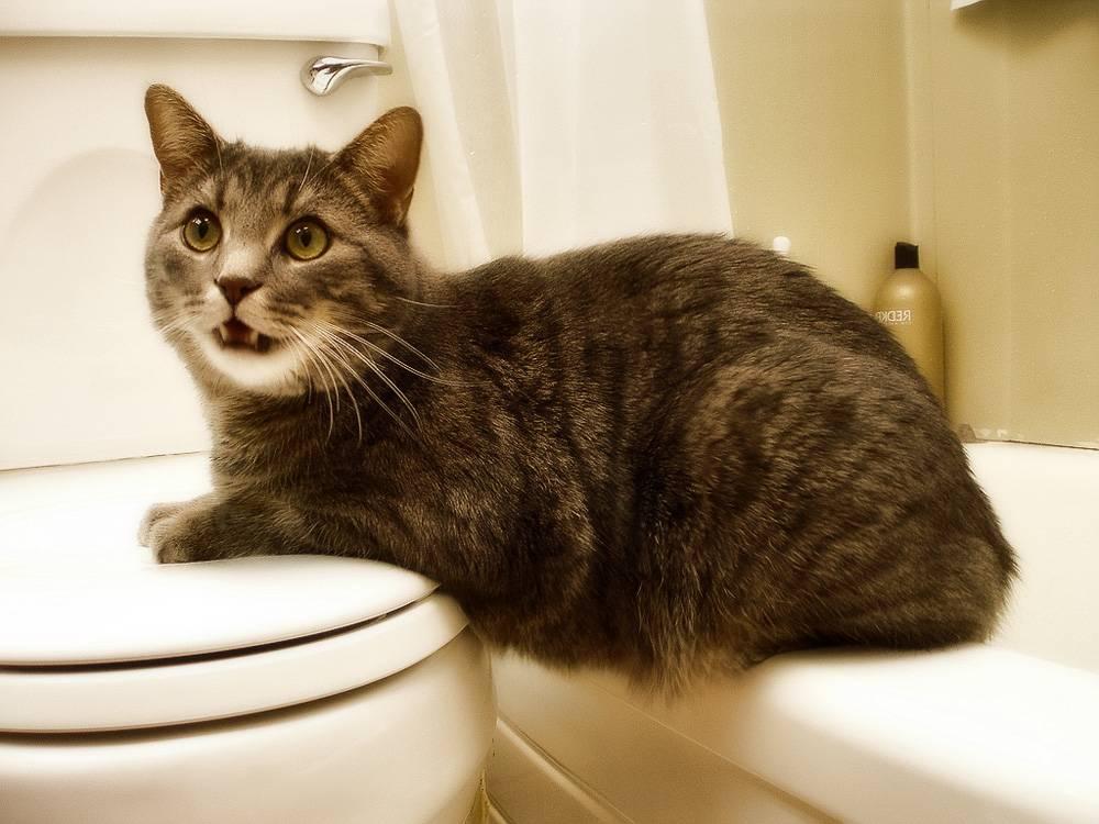 Почему кот часто ходит в туалет по-большому