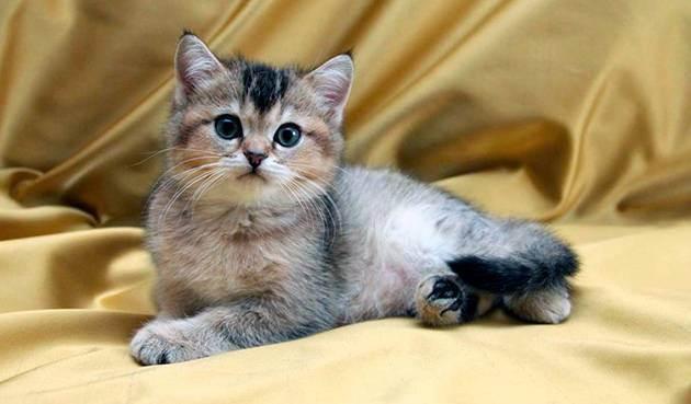Все о британских котятах