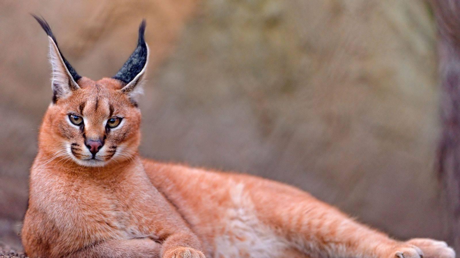 Порода кошек с кисточками на ушах - zhivomag