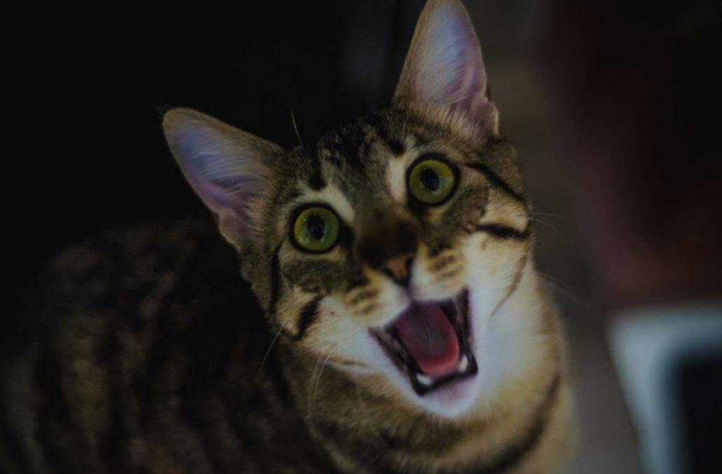 Почему кот орет по ночам: что делать